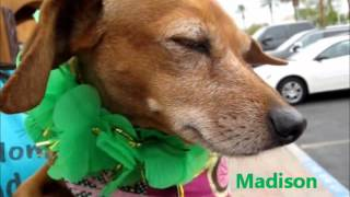 On My Way Home Dachshund Rescue St Patrick's Day