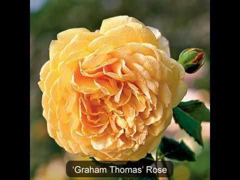 Different Types Of Roses | Varieties Of Roses - Youtube