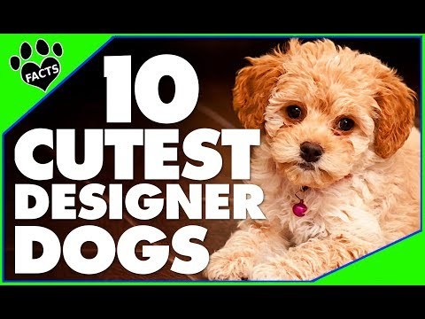 Today's Most Adorable Designer Dog Breeds Popular Cutest Dogs 101 - Animal Facts