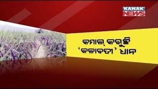 Farmer Cultivates Rare Black Rice In Sambalpur