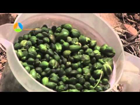Safi Capers: New Production Techniques for a Traditional Crop