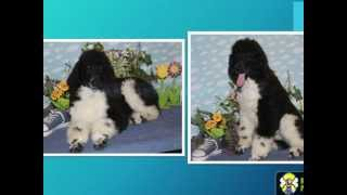 Are You Wishing To Purchase A Phantom Standard Poodle Puppy?
