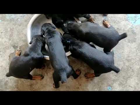 Heavy bone doberman  puppies Available