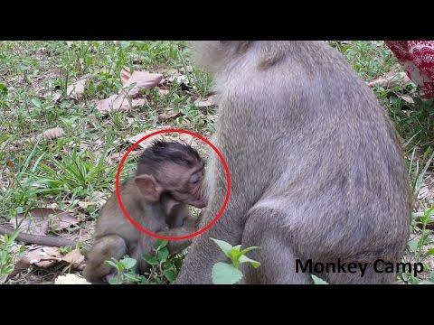 Baby monkey want milk,Baby monkey need milk, Real life of baby monkey, Monkey Camp part 505