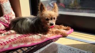 老犬のモモちゃんに癒やさます! 16歳2ヶ月で苦しまず眠るように天国に...