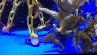 Captive Bred Erectus seahorses For Sale