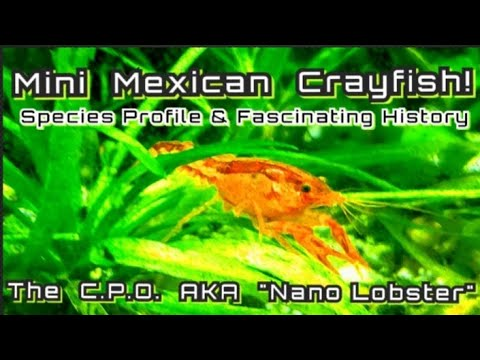 CPO Mexican Nano Crayfish - Species Spotlight. Cambarellus Patzcuarensis A Fascinating History.