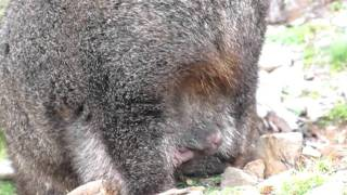 Baby Wombat Grazes out of Mom