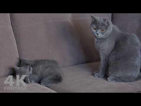 British Shorthair Mom Cat Watching her Kittens 4K footage