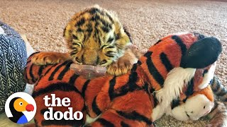 Tiniest Tiger Cub Is A Wild Man Now   The Dodo Little But Fierce