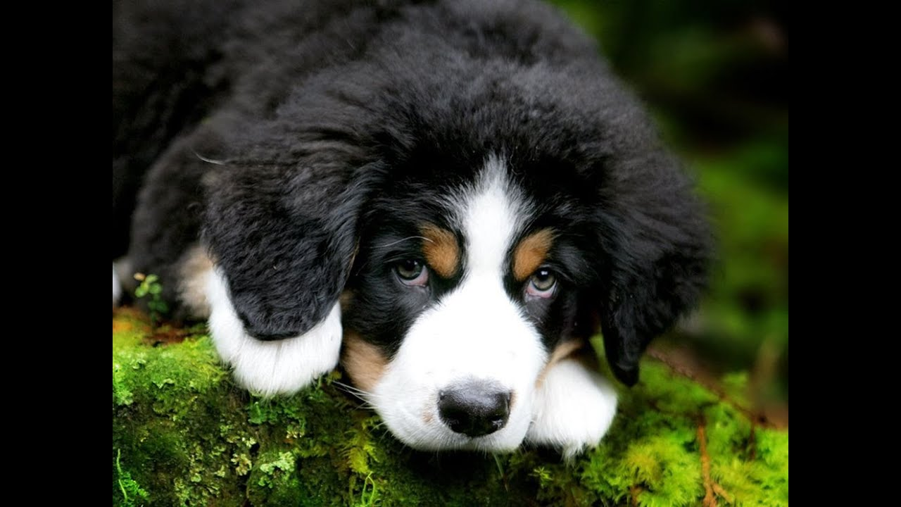 bernese mountain dog puppy playing youtube. Black Bedroom Furniture Sets. Home Design Ideas