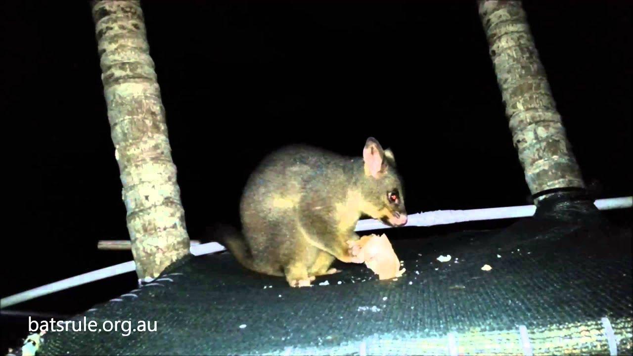 possum brushtail and megabats flying fox fruit bat backyard