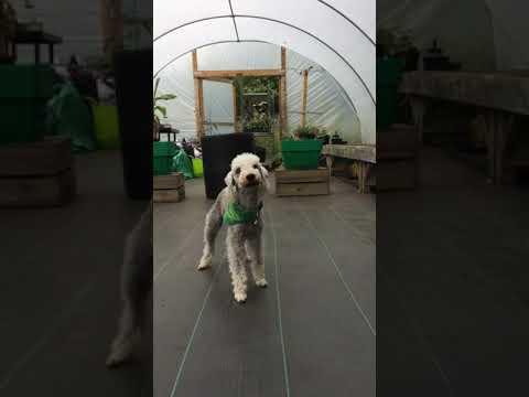 Introducing Archer the bedlington terrier, trick dog extraordinaire!