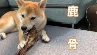 Download lagu 【柴犬】大きな鹿の骨を食べさせてみた!