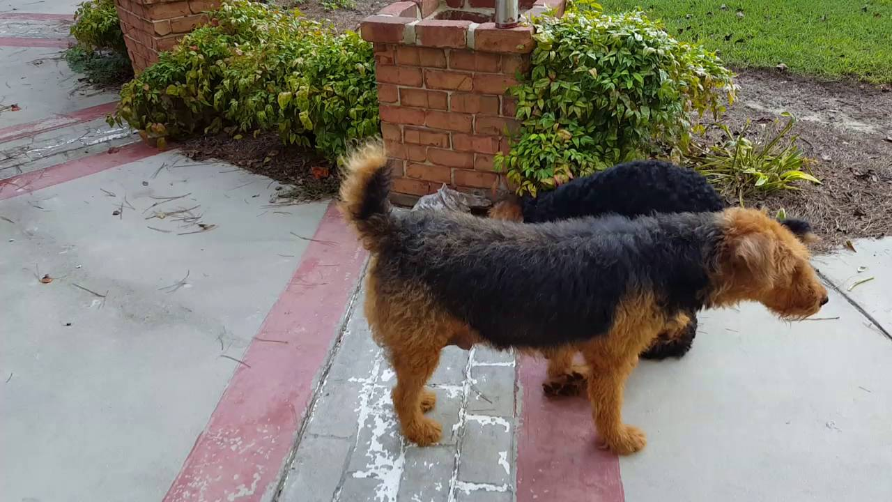 Airedale terrier rescue washington dc