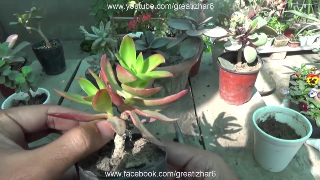 Best Succulents For Pots Care Of Succulent Plants Growing From Leaf Urdu Hindi