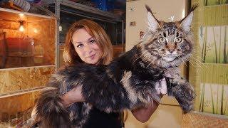 ДОБРАЛСЯ ДО МЕЙН-КУНА! Первая домашняя кошка в семье :)