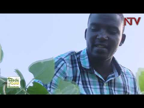 SEEDS OF GOLD: How to add value to your pasture - Uganda