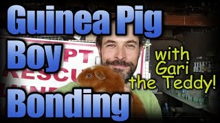 Guinea Pig Bonding with Gari the Teddy