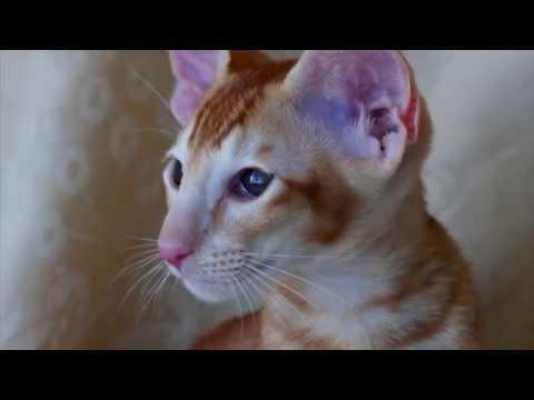 Порода кошек. Ориентальная короткошерстная кошка.