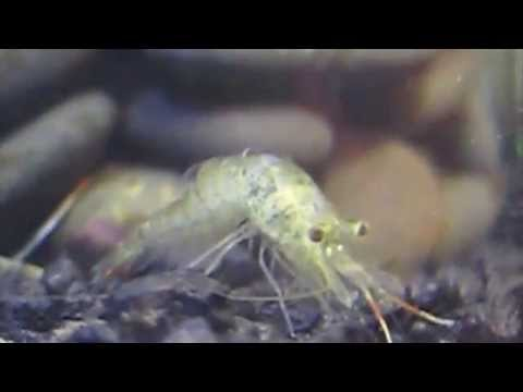 Ghost Shrimp: Complete Care Guide, How to Breed and More