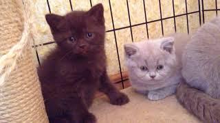 Британский шоколадный кот
