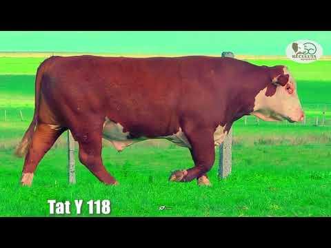 LOTE 08   TAT Y118 TOURO HEREFORD RECULUTA AGROPASTORIL