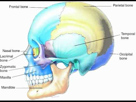 Anatomy of the Face and Head - YouTube