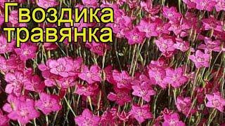 Гвоздика травянка. Краткий обзор, описание характеристик, где купить саженцы dianthus deltoides