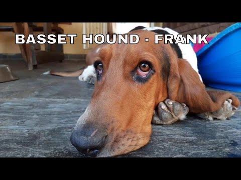 BASSET HOUND - FRANK THE TANK#basset hound #dog #play