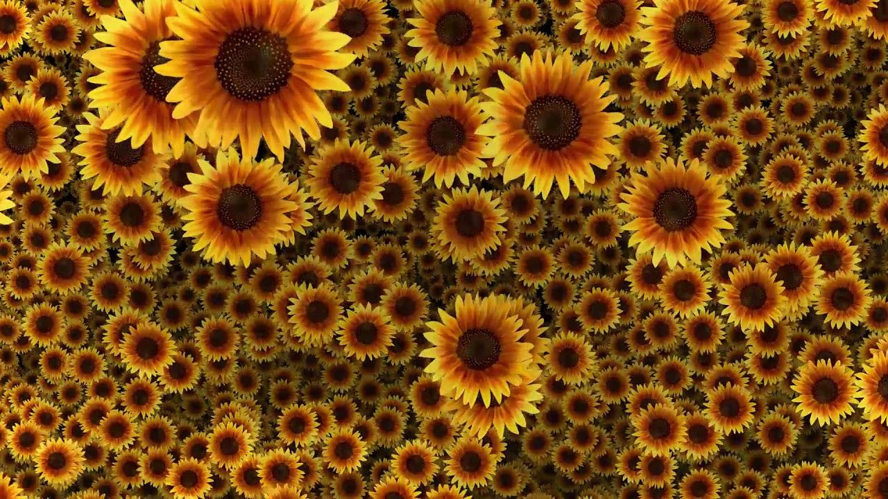 Beautiful sunflowers video background hd 1080p youtube beautiful sunflowers video background hd 1080p izmirmasajfo