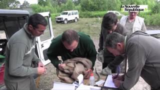 VIDEO (41) Des marcassins au tableau de chasse des scientifi