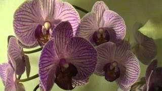 ASMR - A Flower Whispers