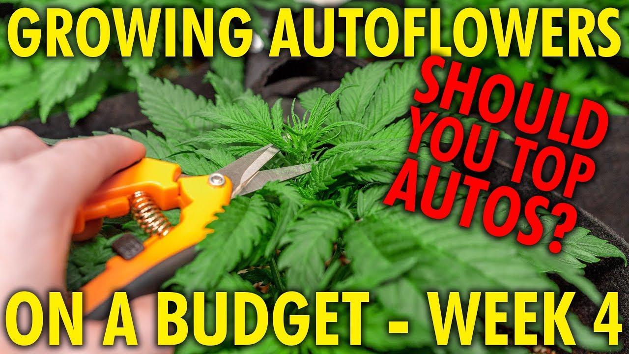 Topping Autoflowers, Is It Worth It? Budget White Widow Grow Week 4