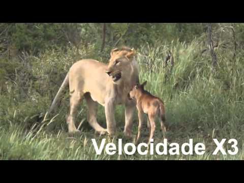 Imagens Raras E Incríveis! Leão Proteje Um Bébé Gnu Da Morte! - WWW.MEGAFIXE.COM