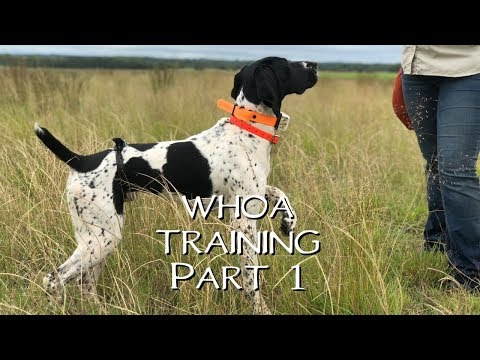 Teaching Your Dog Whoa Part 1- Upland Bird Dog Training