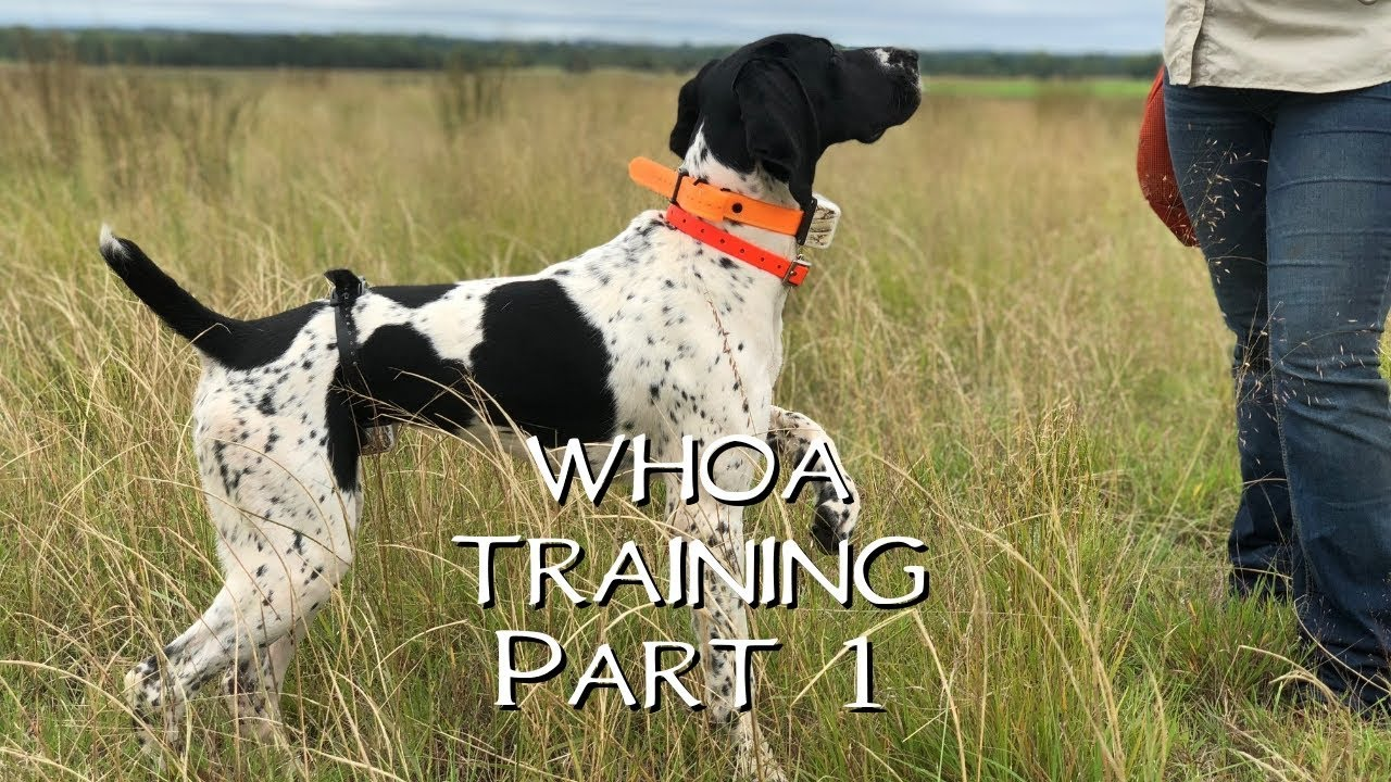 Teaching Your Dog Whoa Part 1 Upland Bird Dog Training Youtube