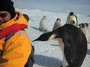 Emperor Penguin - Close Encounter of the Third Kind
