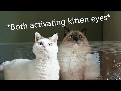 Cats vs Invisible Wall | Bowie The Ragdoll Cat & Bella