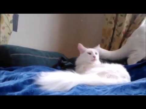 Playful turkish Angora