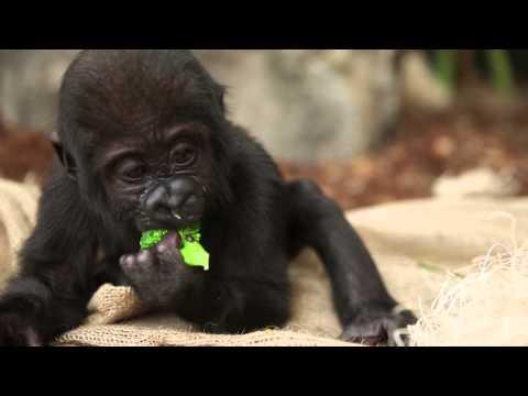 Baby Gorilla Nayembi Thriving