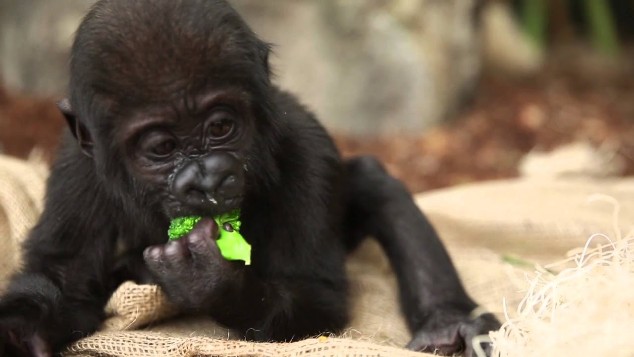 Cute Gorilla Wallpapers Baby Gorilla Nayembi Thriving Youtube
