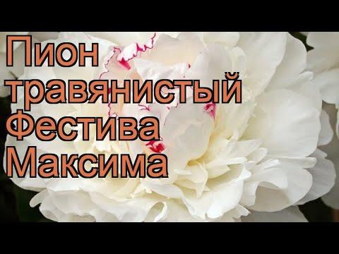 Пион травянистый Фестива Максима (paeonia) 🌿 обзор: как сажать, рассада пиона Фестива Максима