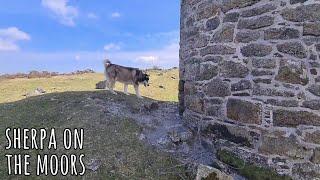 Husky off lead wandering the moors   Sherpa and Jamie