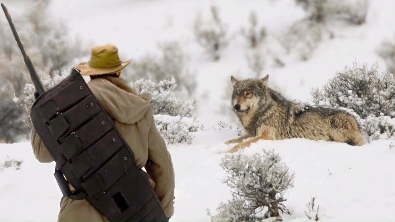 The forest ranger saved the old wolf from the ravine, and after some time the wolf changed his fate