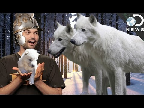 Game Of Thrones Dire Wolves Were Real!
