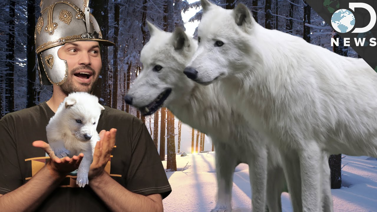 Game Of Thrones Dire Wolves Were Real Youtube