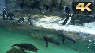 Bila Penguin Kepanasan || Cute Little Penguins Shinagawa Aquarium しながわ水族館 4K