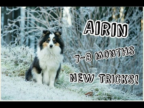 Sheltie puppy-Airin, 7-8 months | NEW TRICKS!