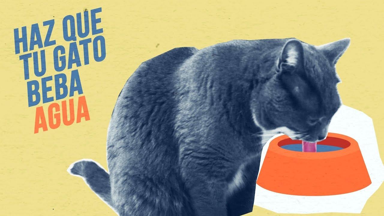 gato perder peso y beber mucha agua